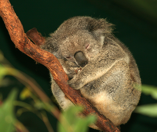 koala-durmiendo-sleeping-koala-arbol-tree