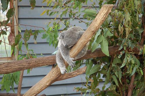 koala-durmiendo-sleeping-koala-rama