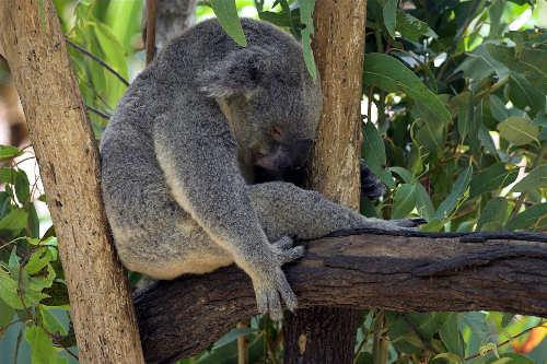 koala-durmiendo-sleeping-nap-siesta
