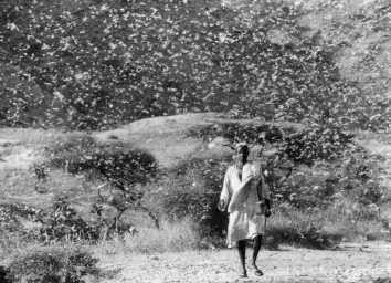langostas-plagas-desierto