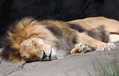 lion_sleeping