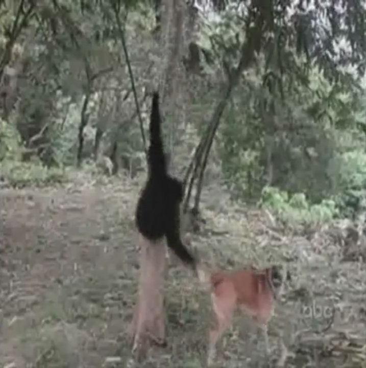monos capullos humor videos