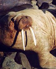 morsa-morsas-durmiendo-walrus-walruses-sleeping-nap