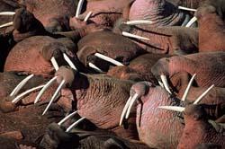 morsa-morsas-durmiendo-walrus-walruses-sleeping