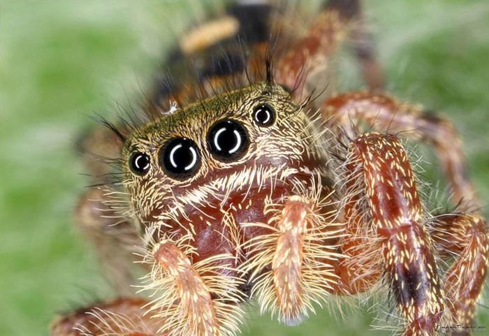 naturaleza-bella-salvaje-arana-ojos