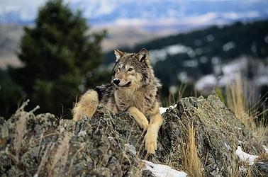 naturaleza-bella-salvaje-lobo-gris