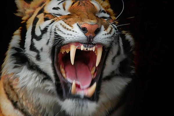 naturaleza-bella-salvaje-tigre-bostezando