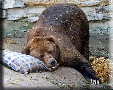 oso-durmiendo-bear-sleeping-tree-arbol-zoo