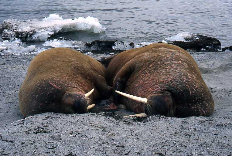 pareja-morsas-durmiendo-walrusses-sleeping-loving-couple