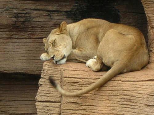 sleepy-lion-leon-durmiendo