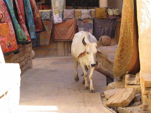 vaca--india-cow-holy-sagrada-hinduismo