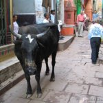 vacas-india-cows-holy-sagradas