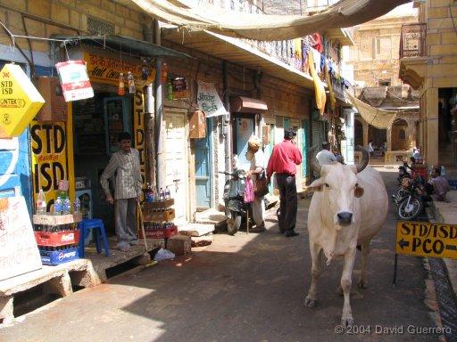 vacas-india-cows-holy-sagradas-maltrato