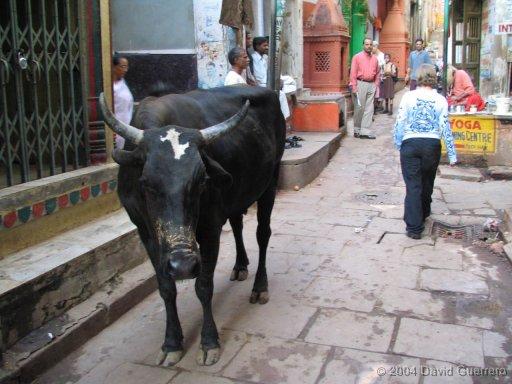 vacas-india-cows-holy-sagradas