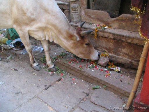 vacas-india-ganado-sagradas