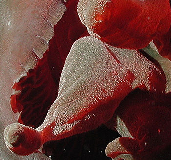 Tiburonia_granrojo-tentaculos