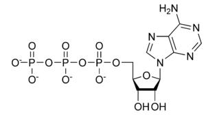 adenosin-trifosfato-molecula-estructura
