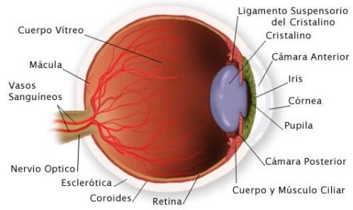 anatomia_grafico partes_ojo
