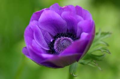 anemona flor planta