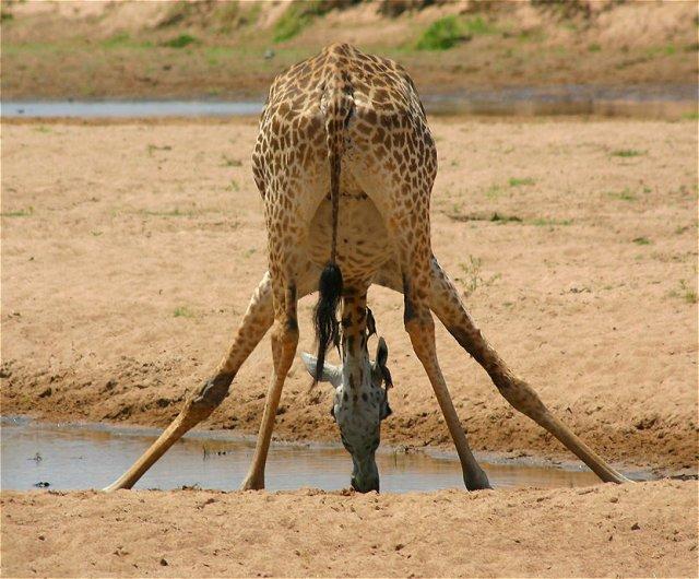 animales-divertidos-jirafa-culo