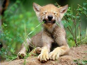 animales-divertidos-lobo-purga