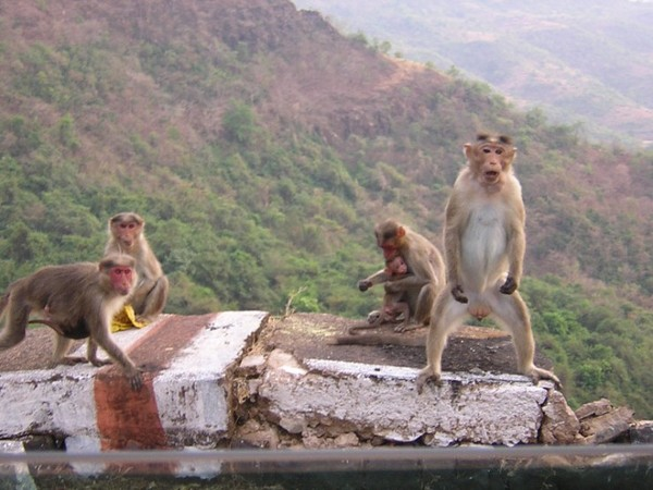animales-divertidos-mono-exhibicionista