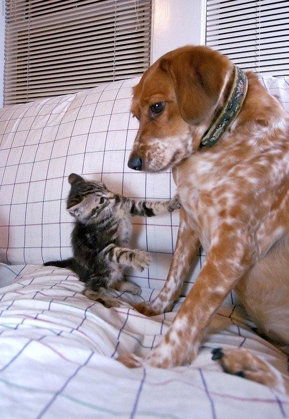 animales-divertidos-perro-gato-sofa