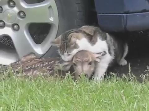 cervatillo gato ataque madre cierva