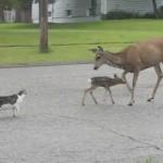 Cierva ataca a un perro para proteger a su cría