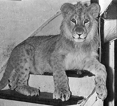 christian-leon-lion-03