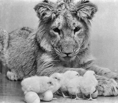 christian-leon-lion