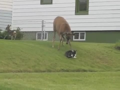 ciervo atacando gato cria