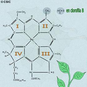 clorofila molecula estructura