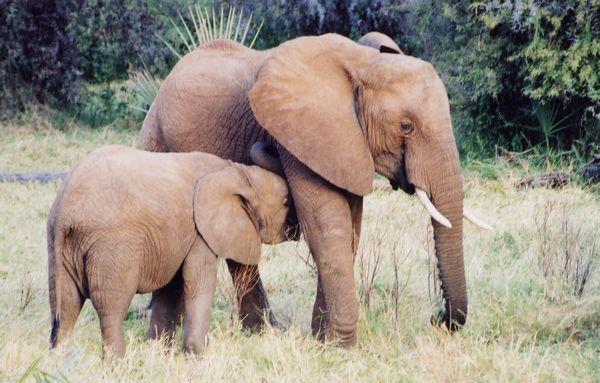 elefante africano sabana
