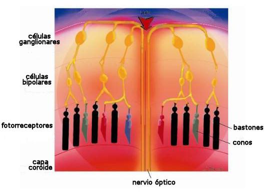 grafico retina partes vision receptores