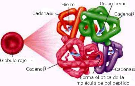 hemoglobina-estructura