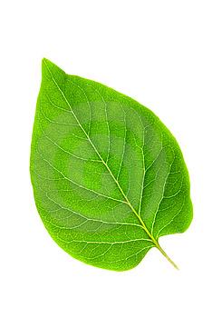 hoja-verde-clorofila