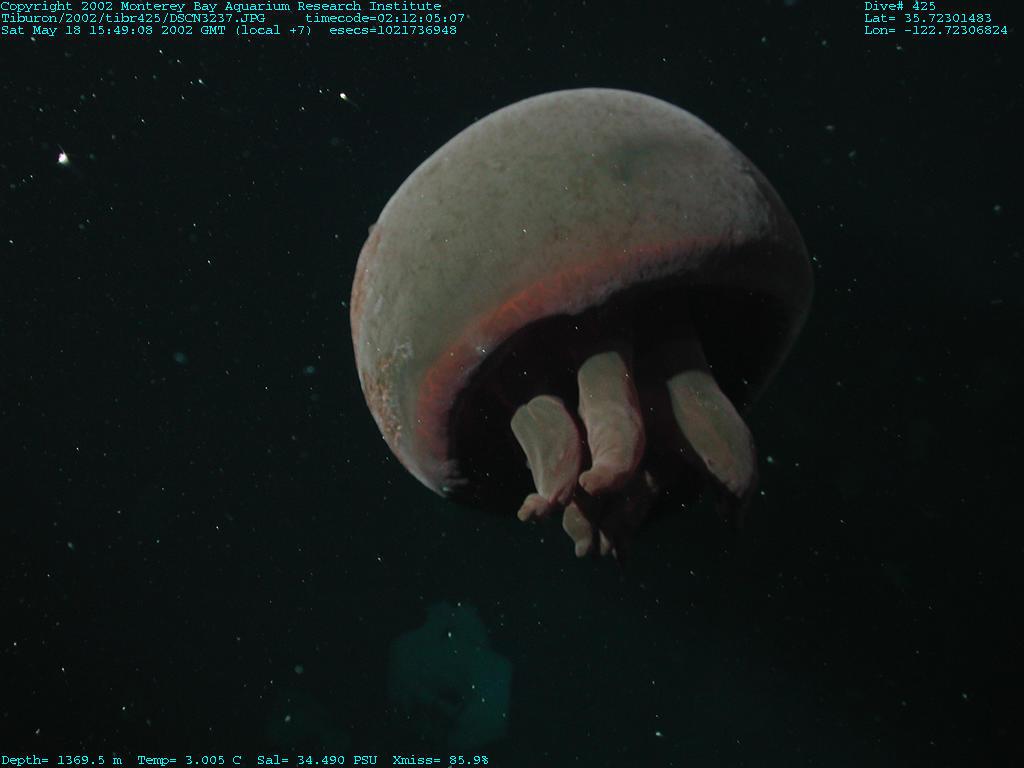 medusa-tiburonia-gran-rojo