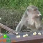 El mono glotón