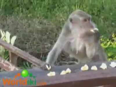 mono comiendo gloton