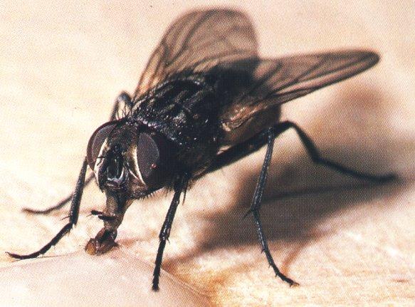 mosca musca domestica