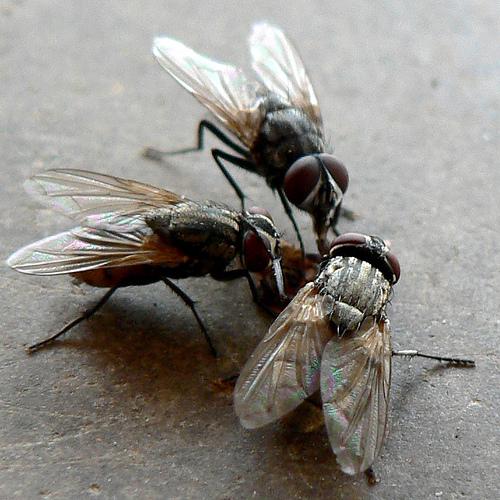 moscas flies