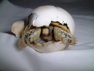 nacimiento-tortuga-huevos-cascaron