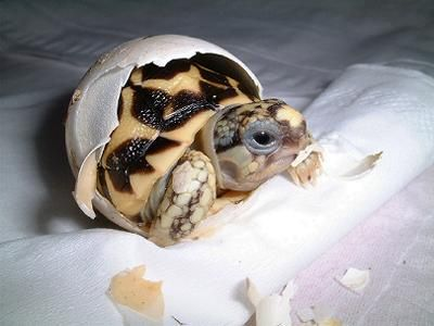 nacimiento-tortuga-huevos-tortuguita