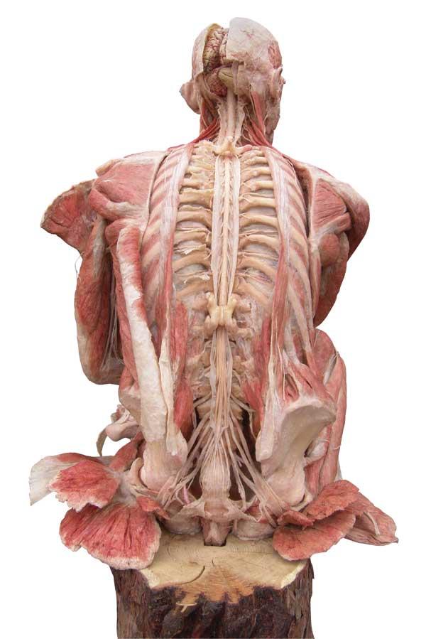plastinacion-cuerpo-humano-disecado