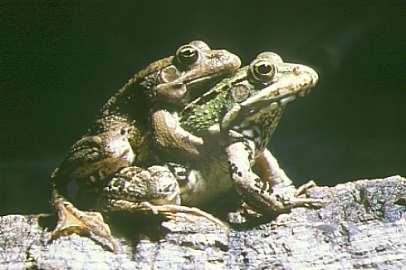 ranas-copulando-amplexus