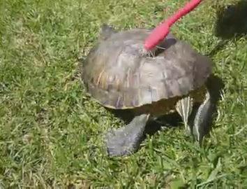 tortuga baile rascar rascando