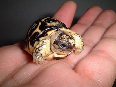 tortuga-bebe-recien-nacida