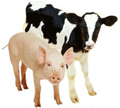 vaca-cerdo