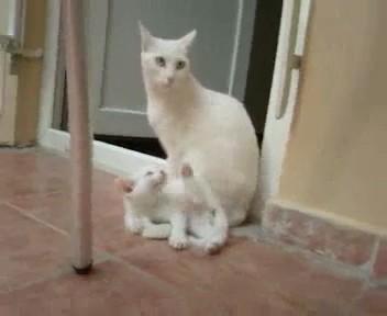 videos gatos blancos